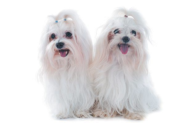 Maltese dogs with ribbons in their hair.