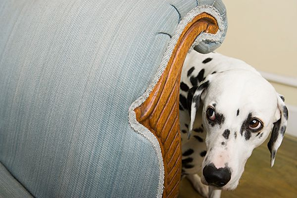 Scared Dalmatian with wide eyes, whale eyes.