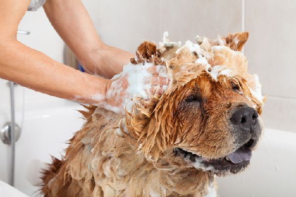 A dog getting shampooed and bathed.