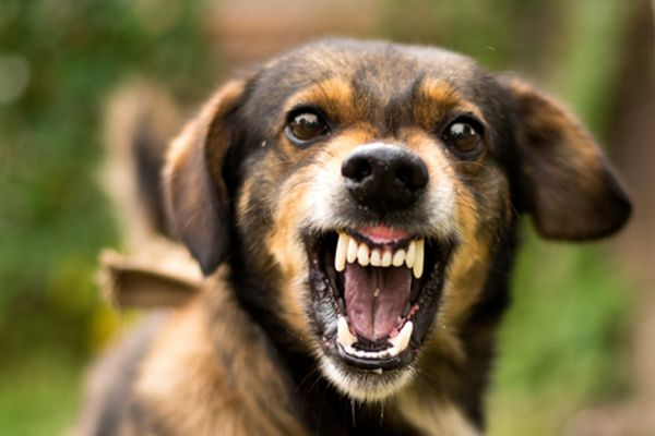 A dog growling and looking angry.