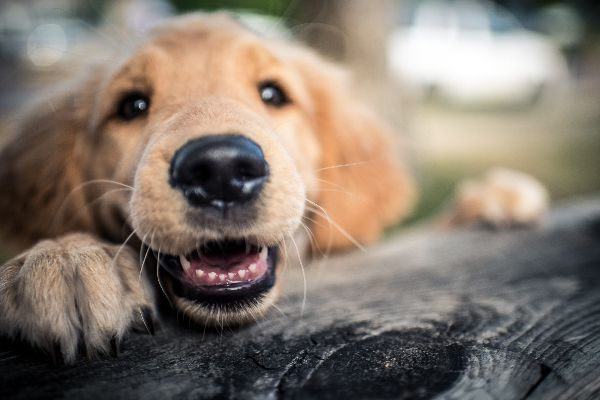 A puppy smiling and showing his teeth.