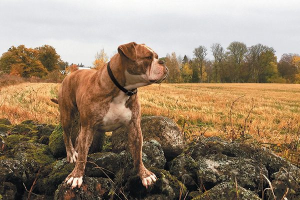 The Alapaha Blue-Blood Bulldog.