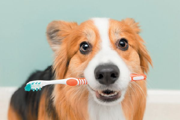 Dog holding a toothbrush and smiling.