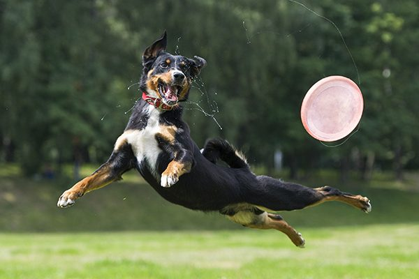 A dog running and jumping in the air after a Frisbee.