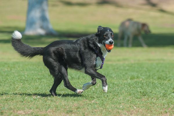 A happy, healthy dog running around outside.