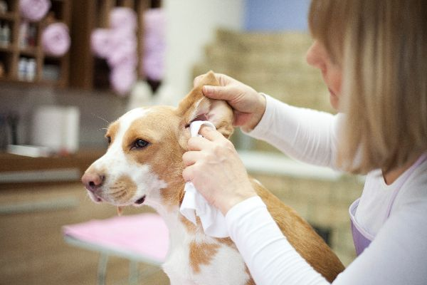 A dog getting his ears cleaned.