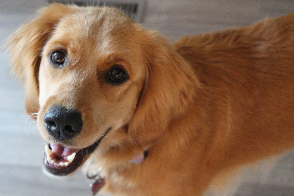 A happy Golden Retriever dog looking up and smiling.