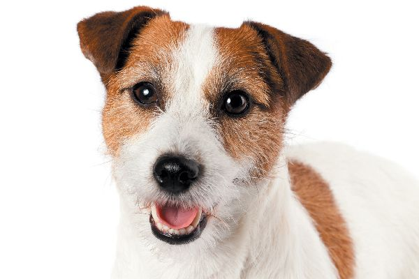 Russell Terrier close up.