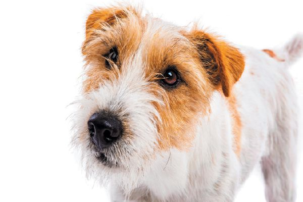 What is the difference between the Parson Russell Terrier, the Russell Terrier and the Jack Russell Terrier?