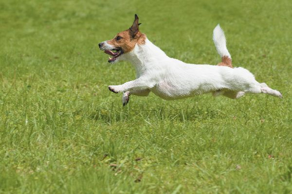 Russell Terrier jumping and running in grass.
