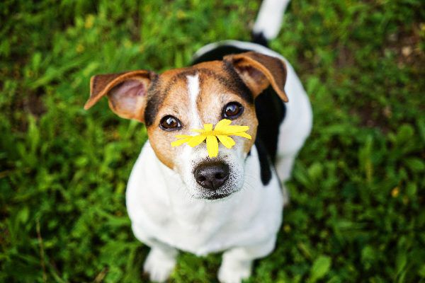 A dog with a flower on his nose.