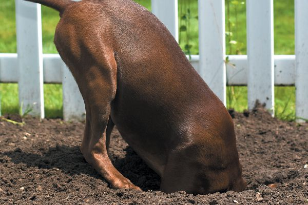 Dog digging in dirt and grass.