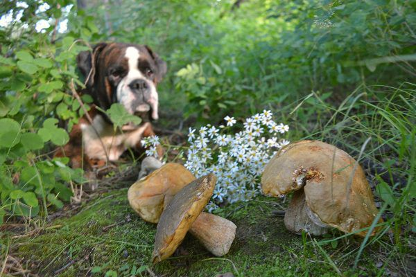A dog outside looking at wild mushrooms.