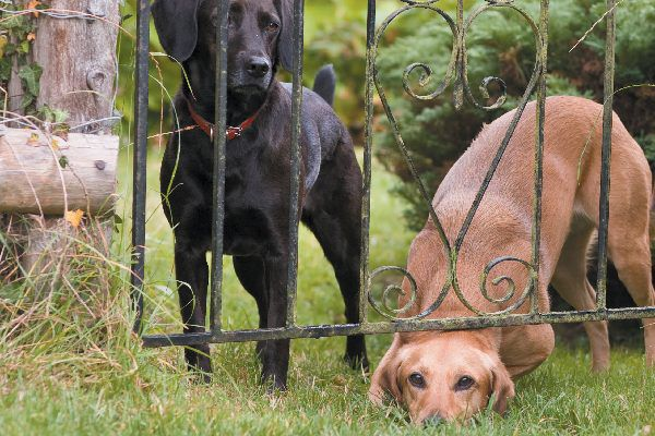 Dogs trying to escape out of fence.