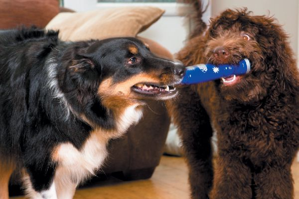 Two dogs playing tug of war with a toy.