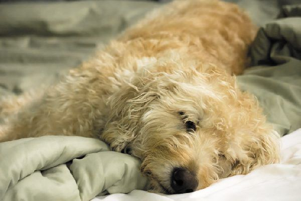 A shaggy dog sleeping.
