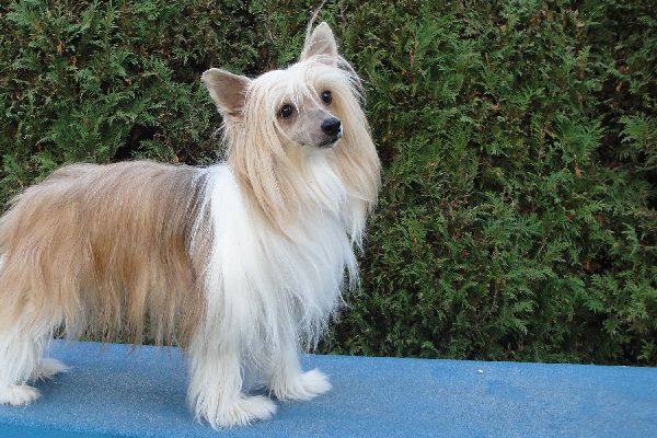 Chinese Crested.