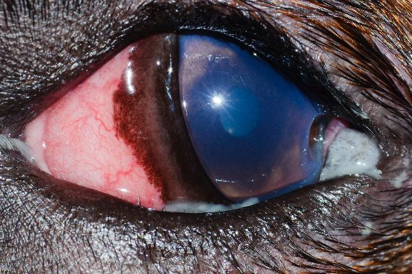 """""""This is a deep corneal ulcer with a divot,"""" Dr. Alario says. """"It was caused by that eyelid mass you see in the corner. The dog also has very small distichia (extra eyelashes) along the lower eyelid."""""""