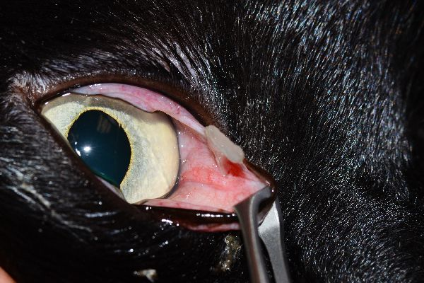 """""""This shows a very small ulcer on the cornea (really hard to see here) but the cause of the ulcer is that cat claw nail under the third eyelid,"""" says Dr. Alario. """"In this case it was a cat scratch after all. Shows why it's important to have the vet look for an underlying cause."""" Photography courtesy Dr. Anthony Alario."""
