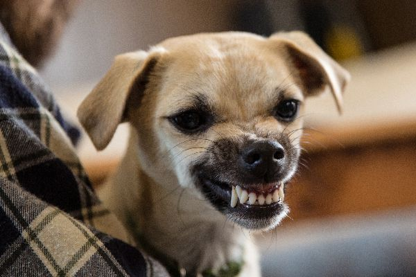 A dog baring his teeth, about to bite.
