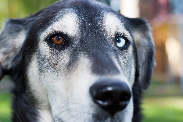 A close up of a dog with one brown eye and one blue eye.