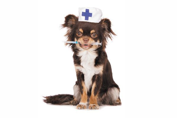 Dog holding a vaccine with a white first-aid hat on.