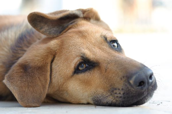 A dog lying down with his ear folded over.