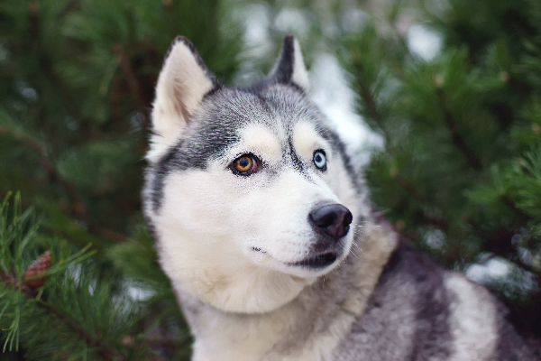 Siberian Husky with two different-colored eyes.