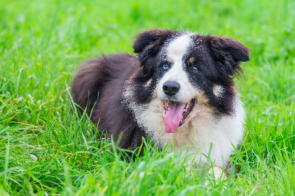 A dog with different-colored eyes in the grass.
