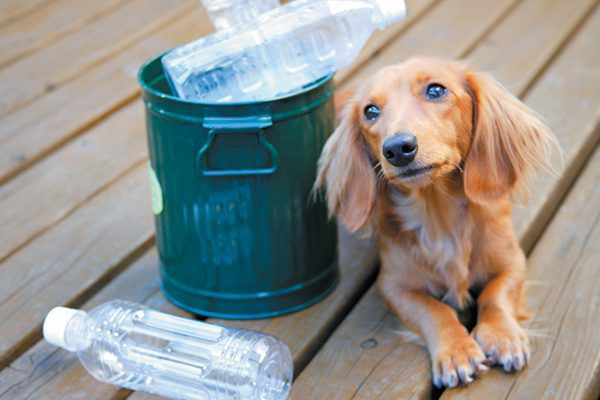 Dachshund sitting with plastic water bottles in a recycle bin.