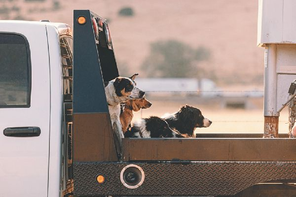 Dogs riding in the back of a car or pickup truck.