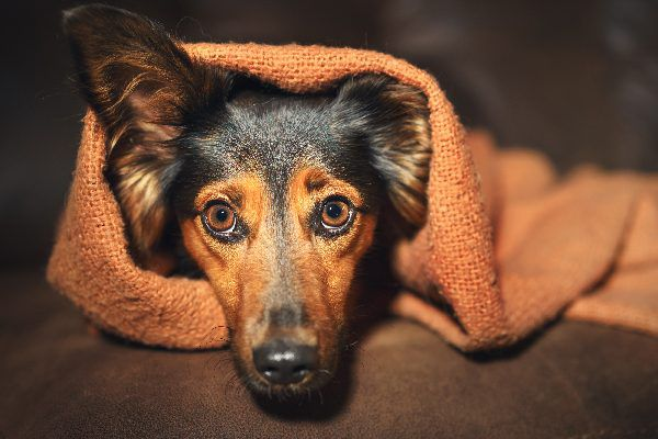 A scared, stressed or sick dog with wide eyes.