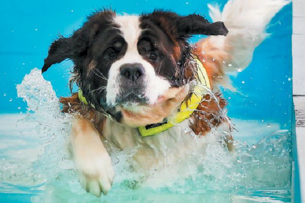 A dog swimming and paddling in the water.
