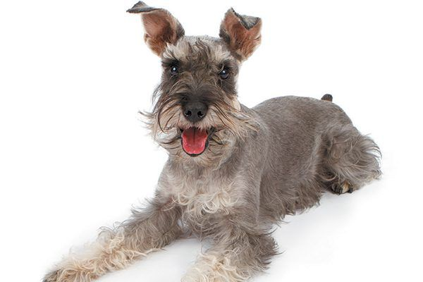 The Miniature Schnauzer is named for his unmistakable, physical feature. Photography ©Moviestore collection Ltd   Alamy Stock Photo.