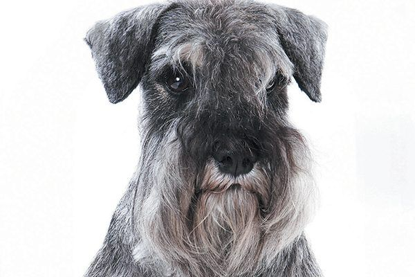 A Miniature Schnauzer is known for his whiskers and facial hair. Photography ©Dixi_   Getty Images.