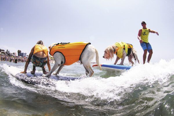 Dogs travel from all over to participate in the family-friendly Imperial Beach dog surfing competition.