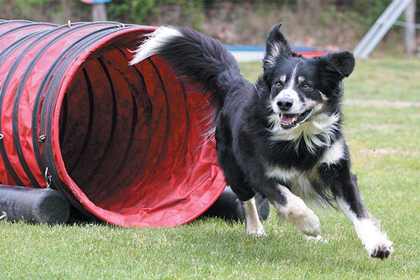 Dog agility is a great form of exercise for you and your dog. Photography ©happyborder | Getty Images.