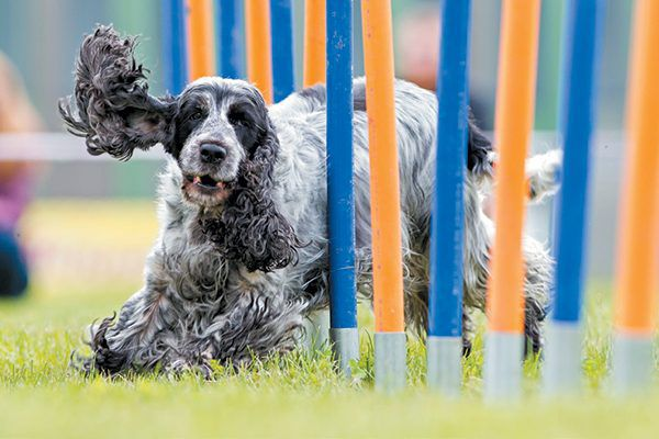 Weaving through poles is just one obstacle your dog can try with dog agility. Photography ©LexiTheMonster | Getty Images.