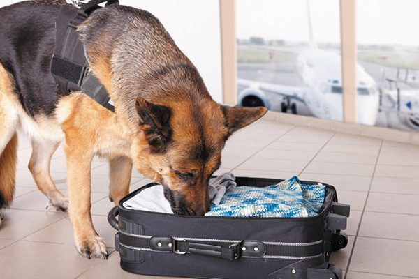 Some K9s are retiring early because they can't be retrained to ignore a smell. Photography ©danisacch   Hibrida13   Getty Images.