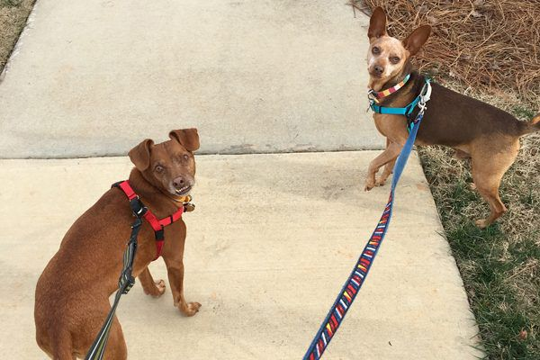 Tampa Bay (left) and Justice out for a walk on leash.