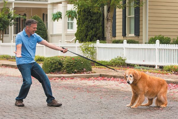 A reluctant dog walking with a human.