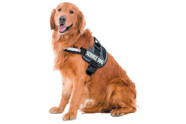 A service dog with a training vest on.