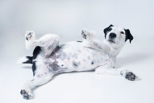 A black and white dog flipped over, showing his stomach!