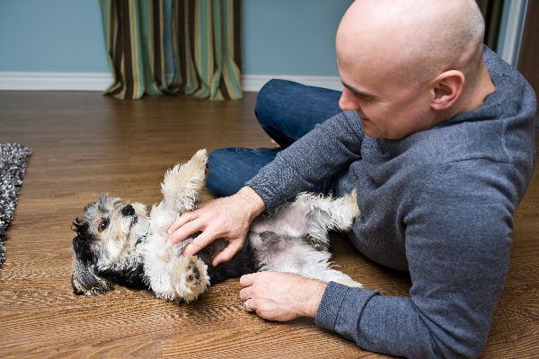 A man petting a dog flipped over on his stomach.