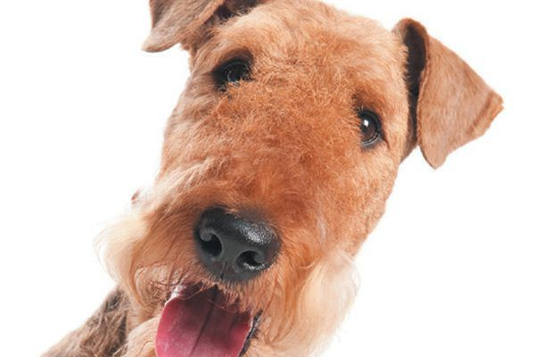The Airedale terrier is relatively a light shedder. Photography ©kadmy | Getty Images.