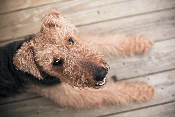 The Airedale terrier is an independent, problem-solving breed. Photography ©Alex Potemkin   Getty Images.