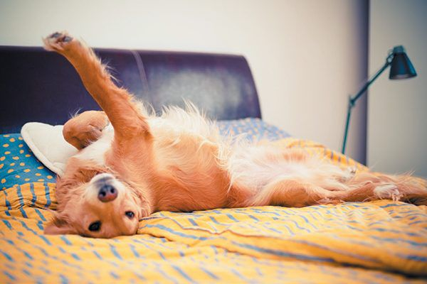 Bigger space might be the reason why your dog is sleeping in bed with you. Photography ©grki   Getty Images.