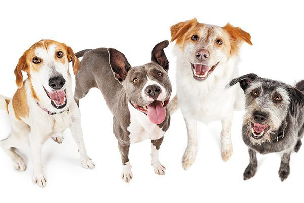 Genetic testing can predict if an individual dog is at risk for certain diseases. Photography ©adogslifephoto | Getty Images.