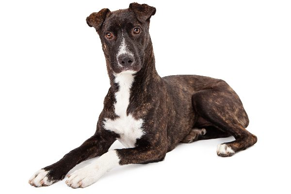 Mountain Cur dog breed.