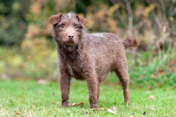 Patterdale Terrier dog breed.
